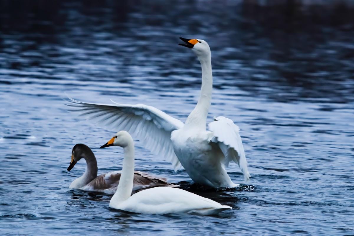 государственный природный заказник Лебединый